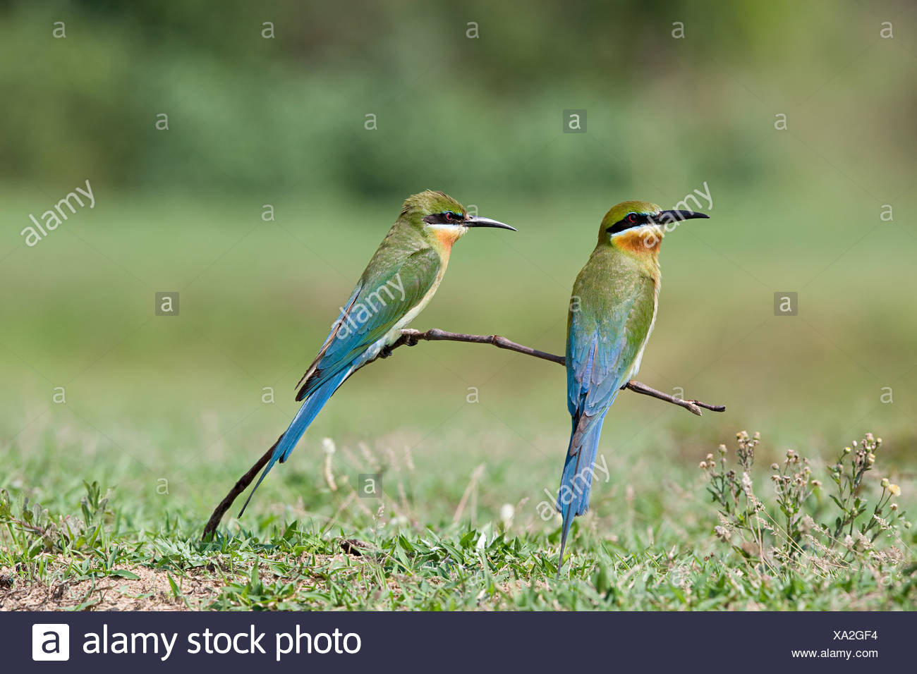 Two blue tailed bee eaters perching - Stock Image