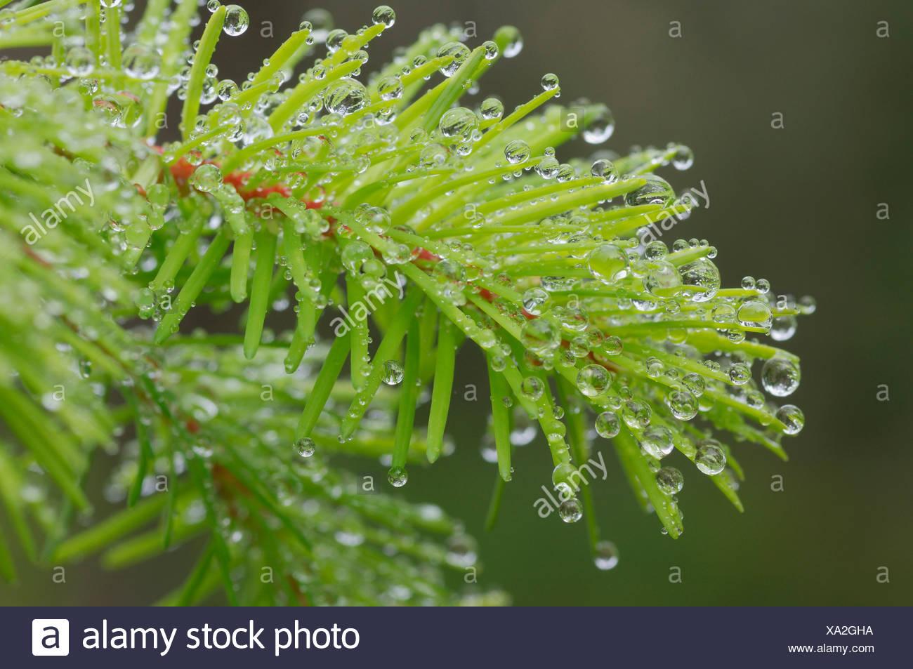 USA, Oregon, Dew drops on twig, close-up - Stock Image