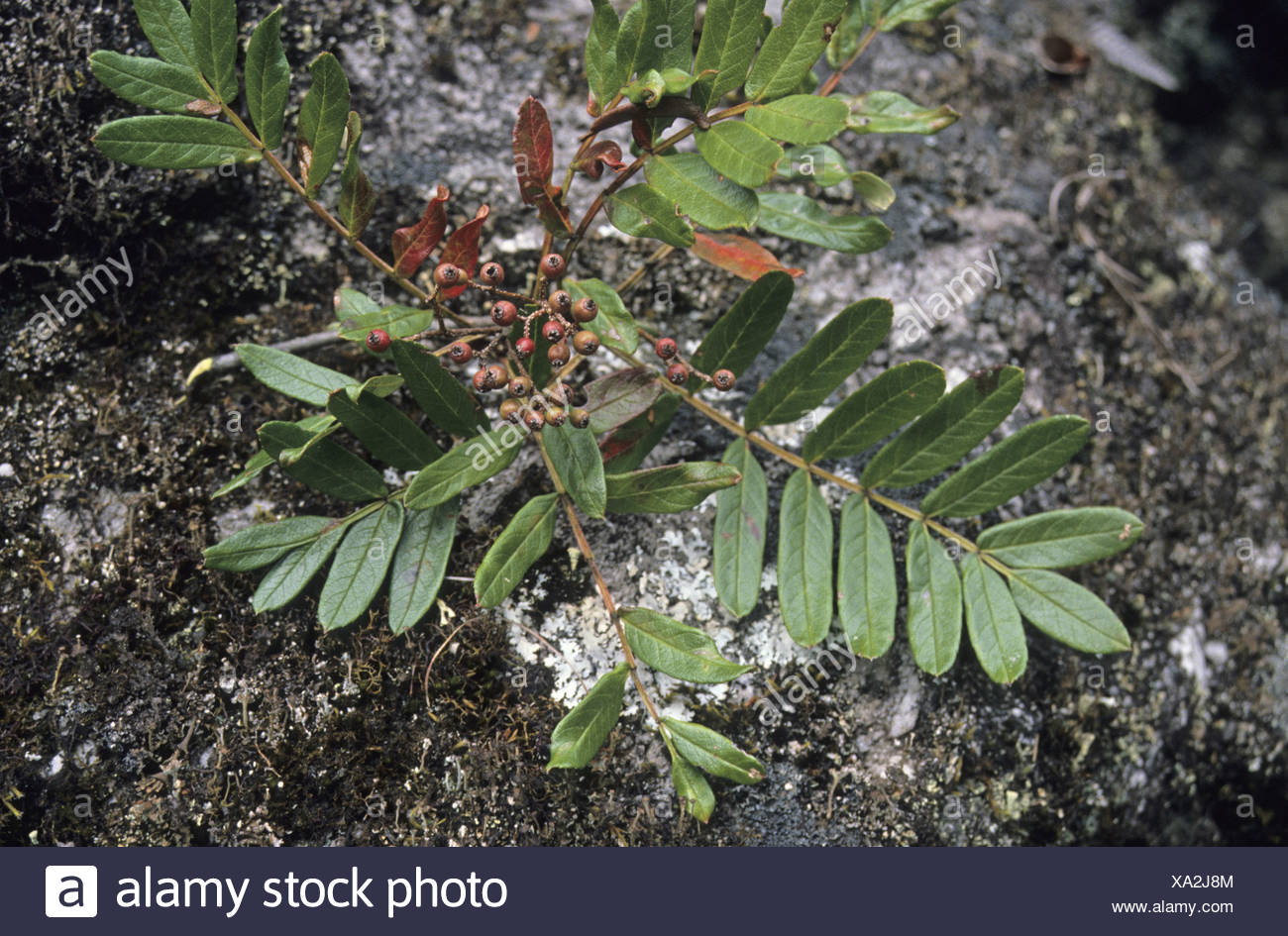 Mountain Ash Sorbus wallichii epiphytic in fruit Chenbedji Tongsa Central Bhutan - Stock Image