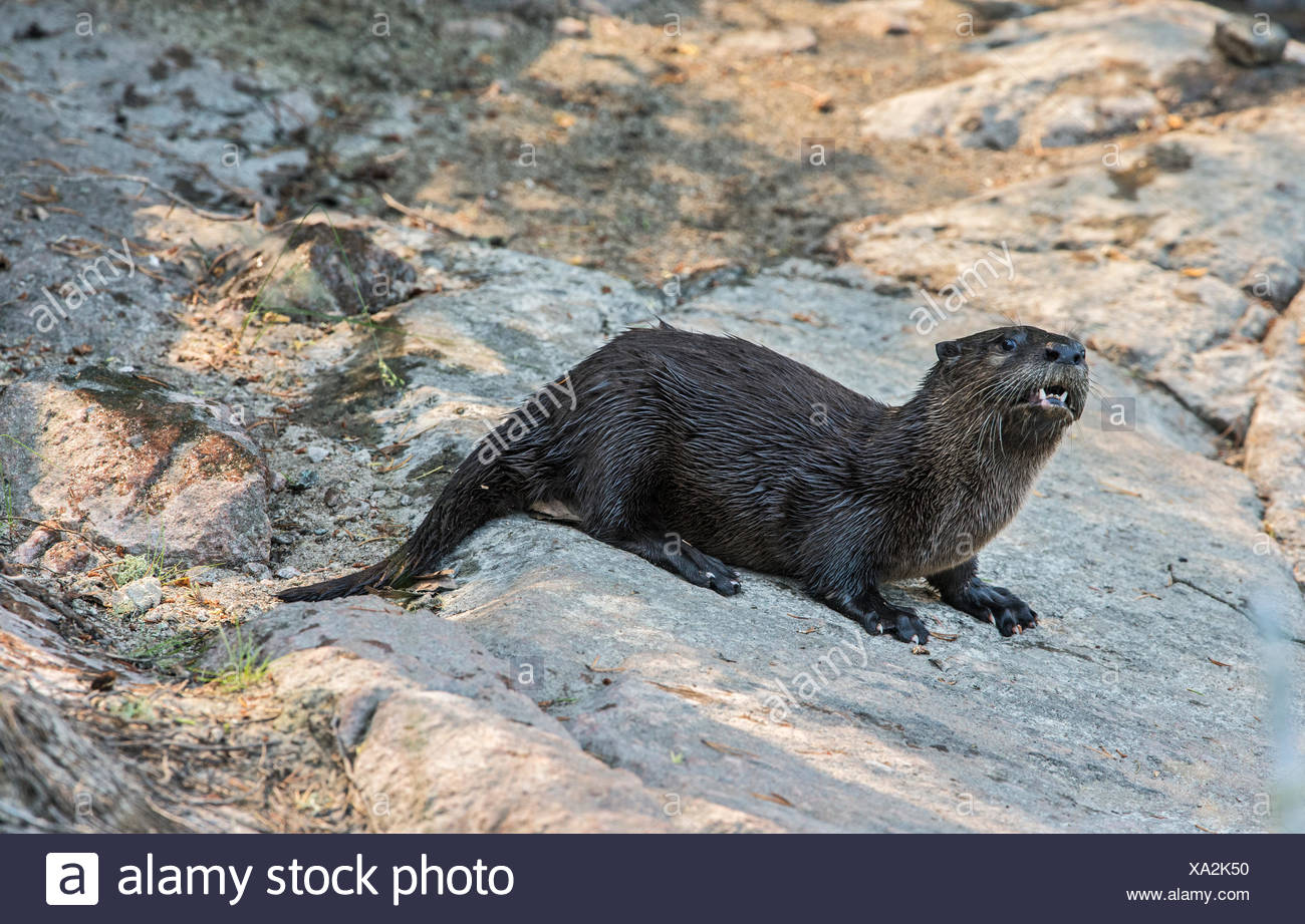 North American river otter (Lontra canadensis) on shore Near Bloodvein Manitoba Canada Stock Photo