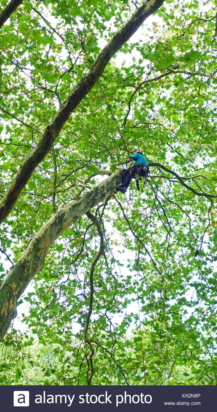 arborist climbing in a tree, Germany - Stock Image