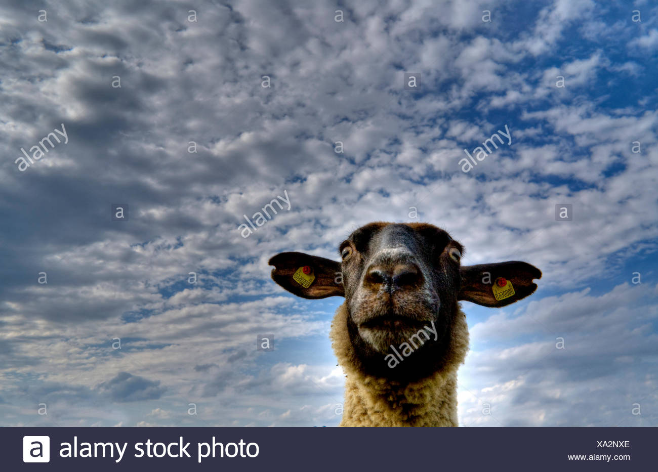 worms eye animal sheep - Stock Image