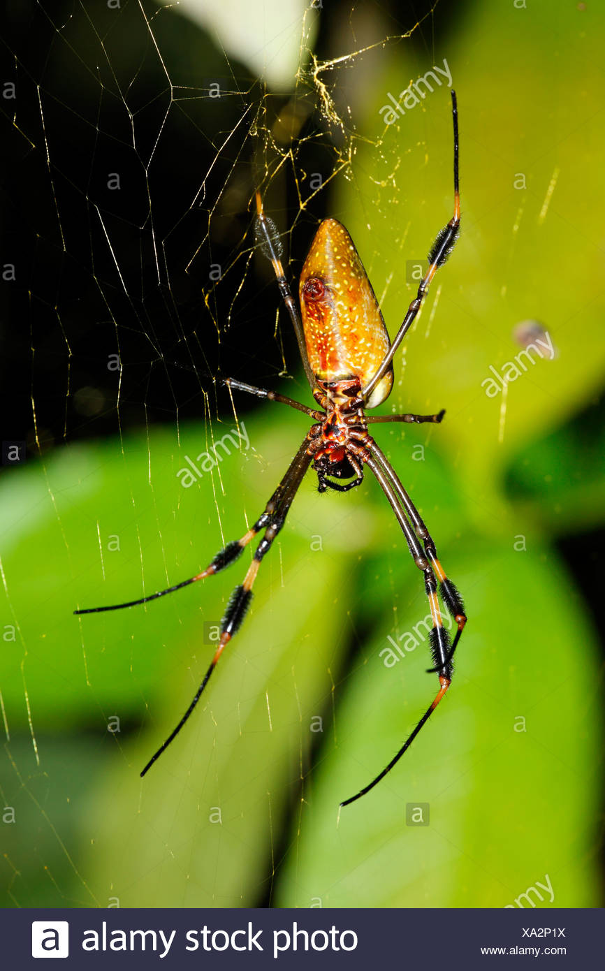 Golden Orb Spider, Golden silk orb-weaver (Nephila clavipes), Costa Rica - Stock Image