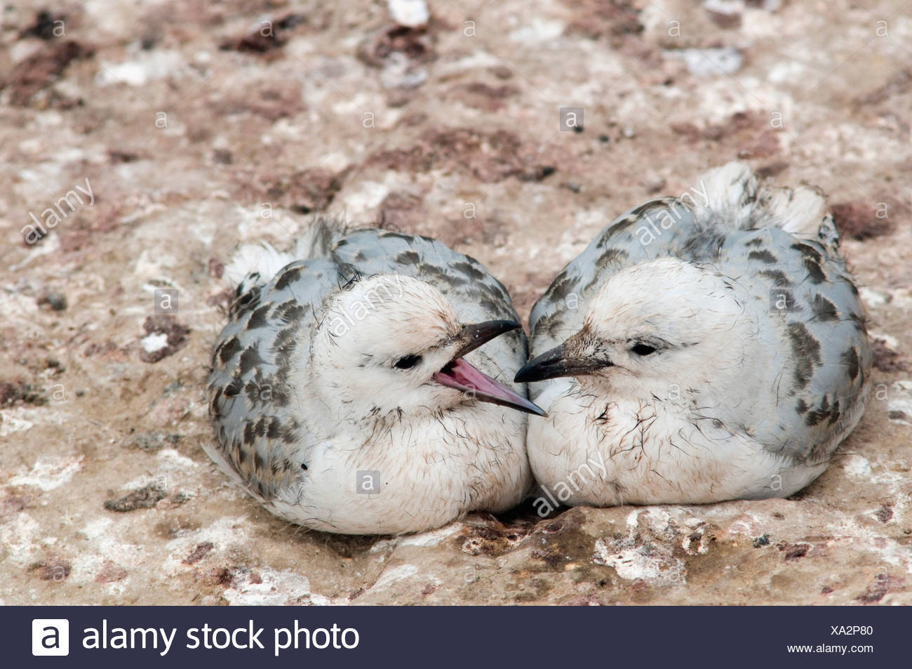 Young Red-billed Gulls (Larus novaehollandiae), Shag Point, South Island, New Zealand - Stock Image