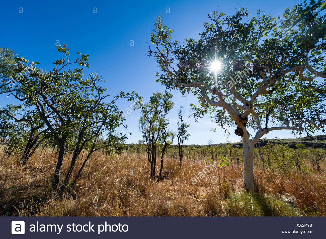 A Snappy Gum and Bloodwood trees on a dry grass plain. - Stock Image