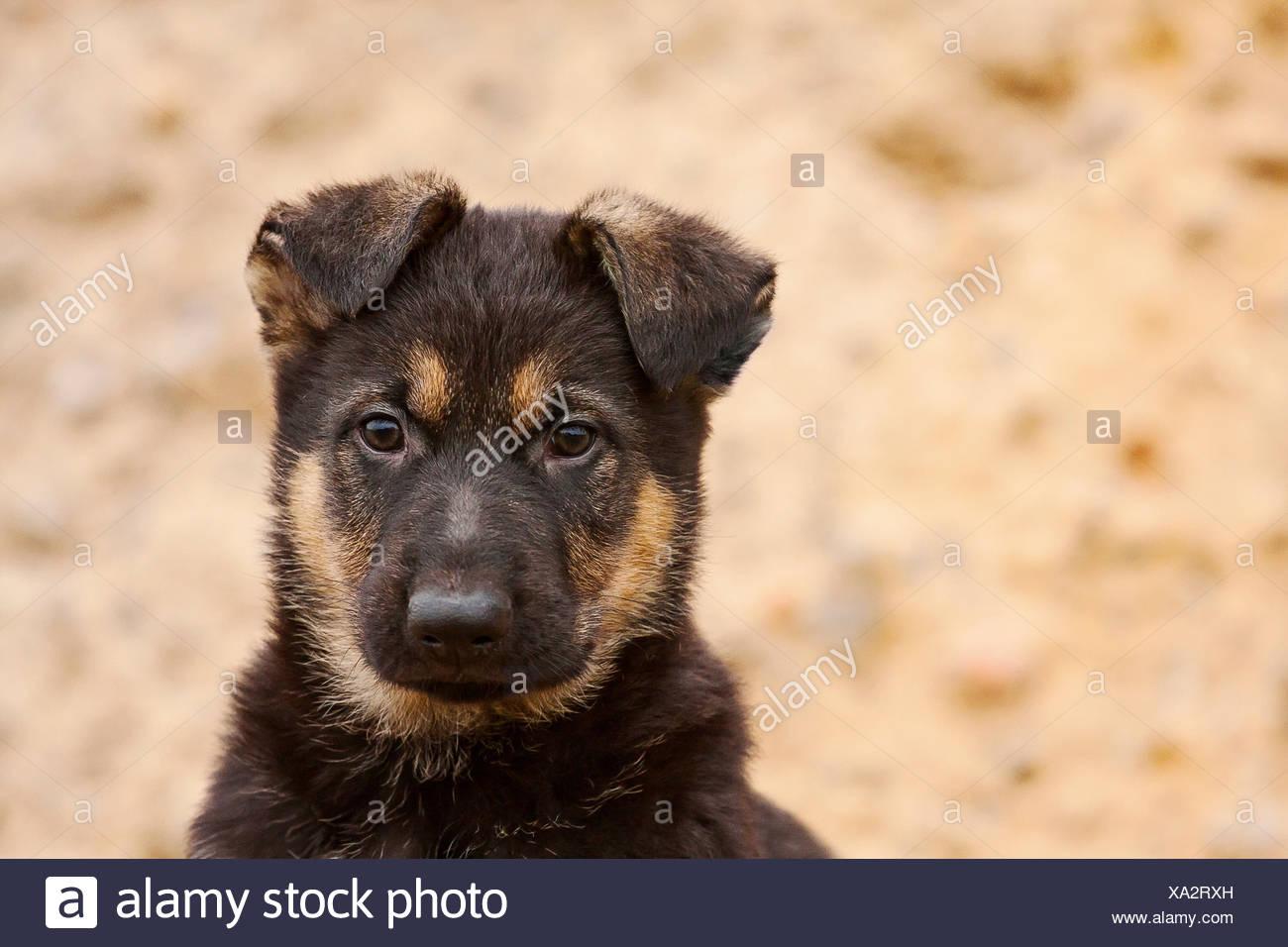 German Shepherd Puppy 8 Weeks Portrait Stock Photo Alamy