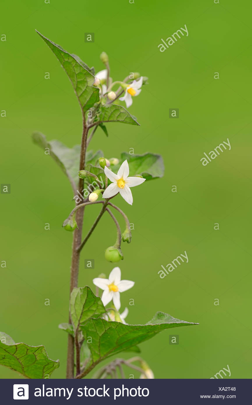 European Black Nightshade, Duscle or Hound's Berry (Solanum nigrum), North Rhine-Westphalia, Germany - Stock Image