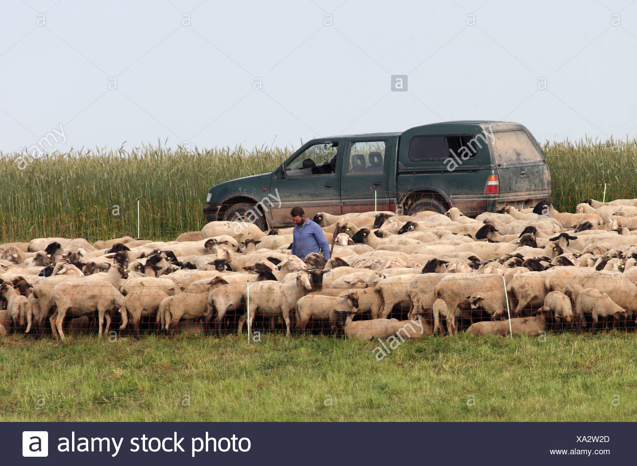 Torgau, Germany, Schaefer stands amidst a flock of sheep Stock Photo