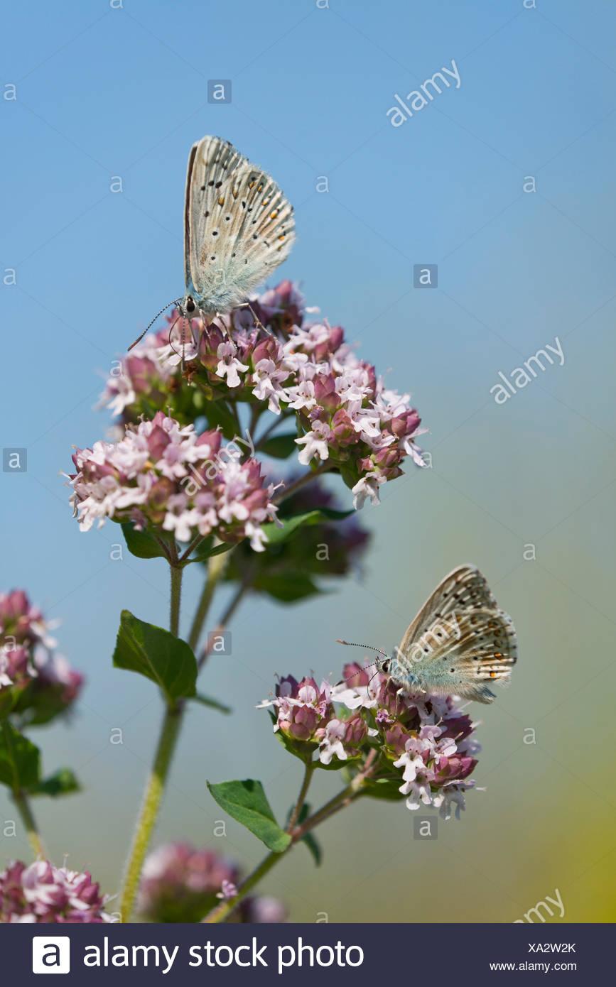 Adonis blue (Polyommatus bellargus, Lysandra bellargus) sucking nectar from oregano (Origanum vulgare), Thuringia, Germany - Stock Image
