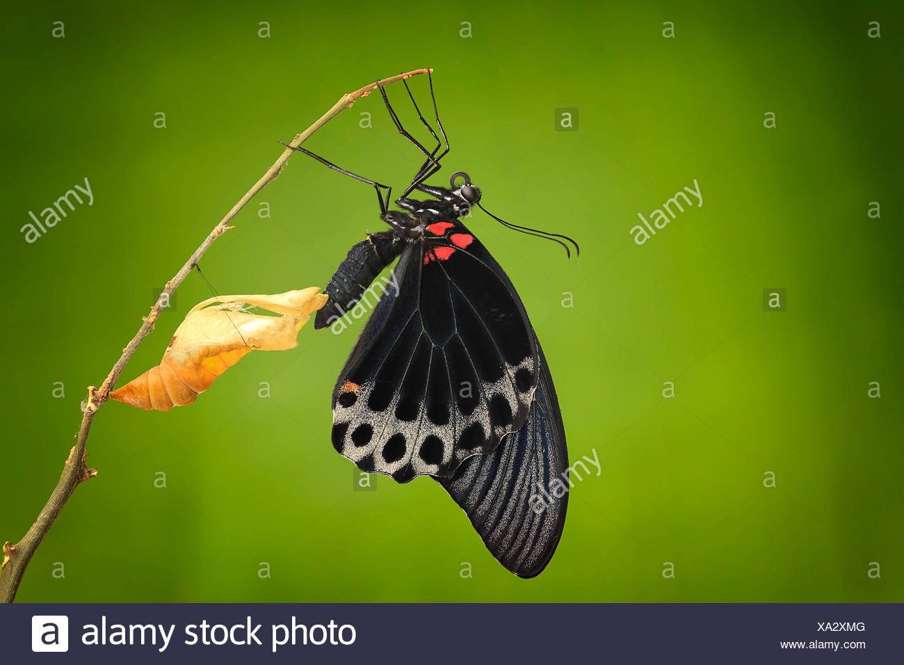 Butterfly emerging from its chrysalis, Jember, Indonesia - Stock Image