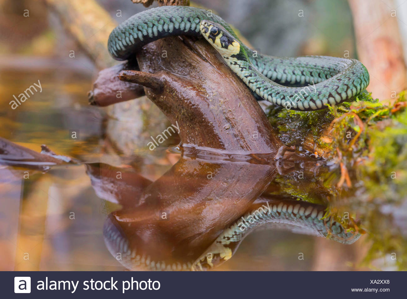 grass snake (Natrix natrix), lurking for prey at the water, Germany, Bavaria, Niederbayern, Lower Bavaria - Stock Image