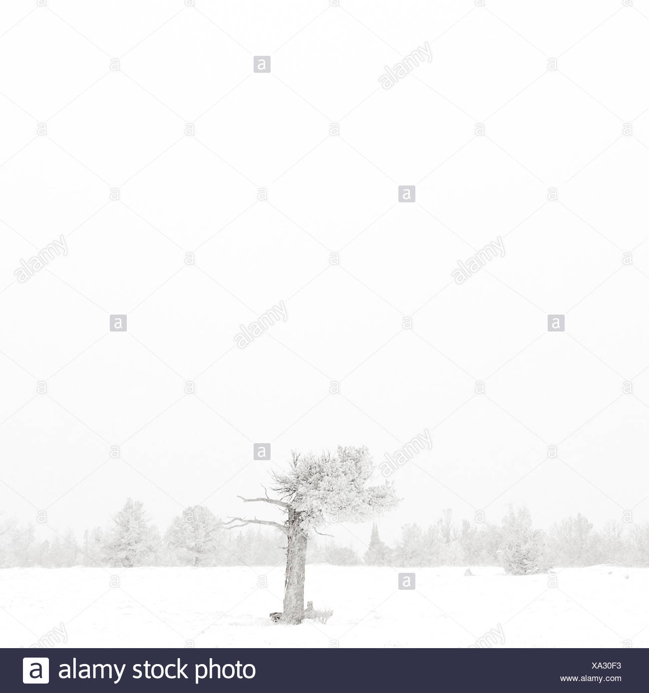 USA, Wyoming, Albany County, Laramie, Tree in snow covered landscape - Stock Image