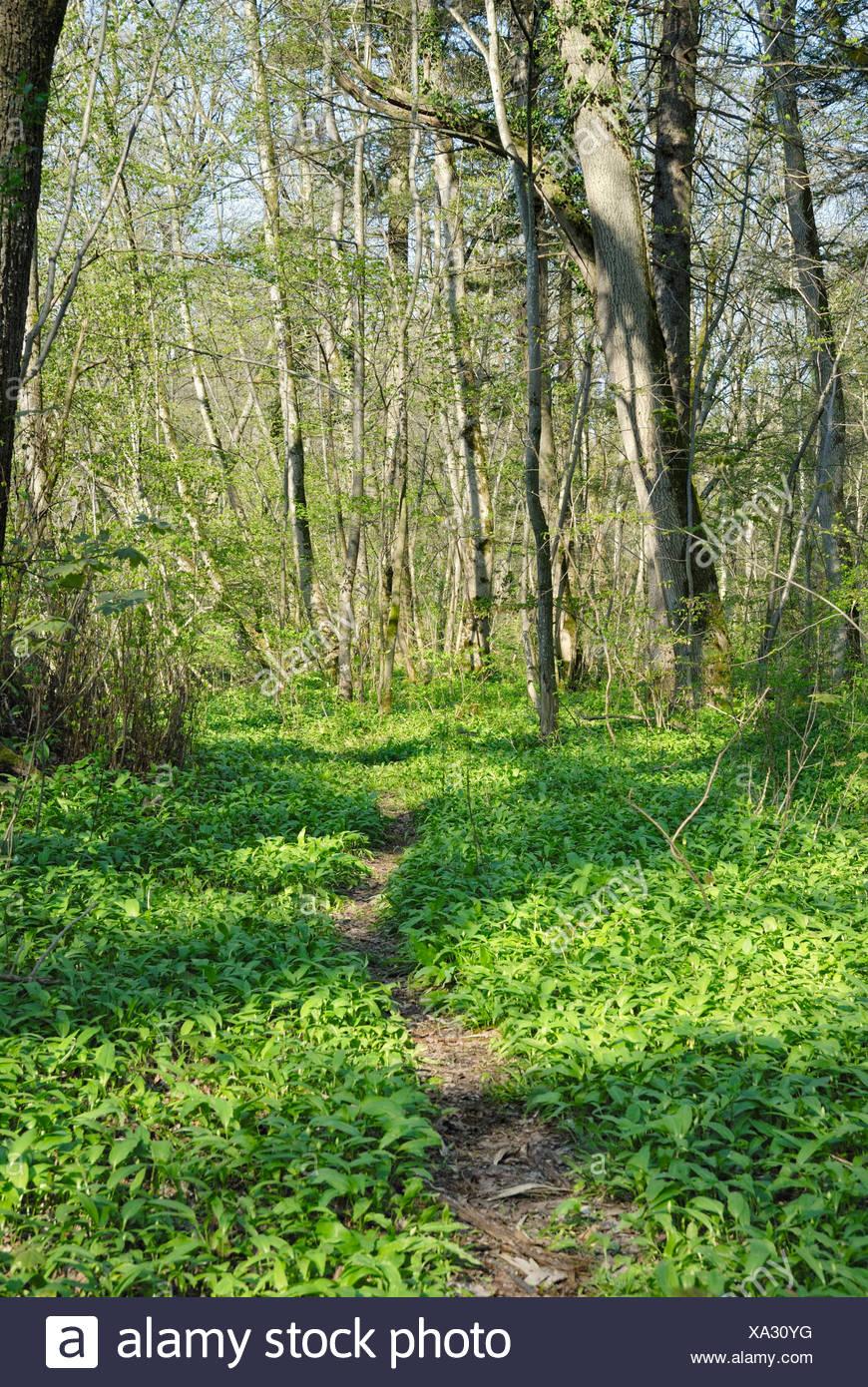 Woodland path through forest floor covered with Wild Garlic, Wood Garlic or Bear's Garlic (Allium ursinum), alpine upland - Stock Image