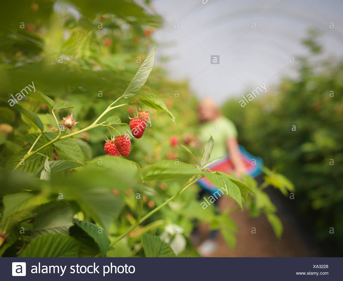 Worker picking raspberries in fruit farm, close up - Stock Image