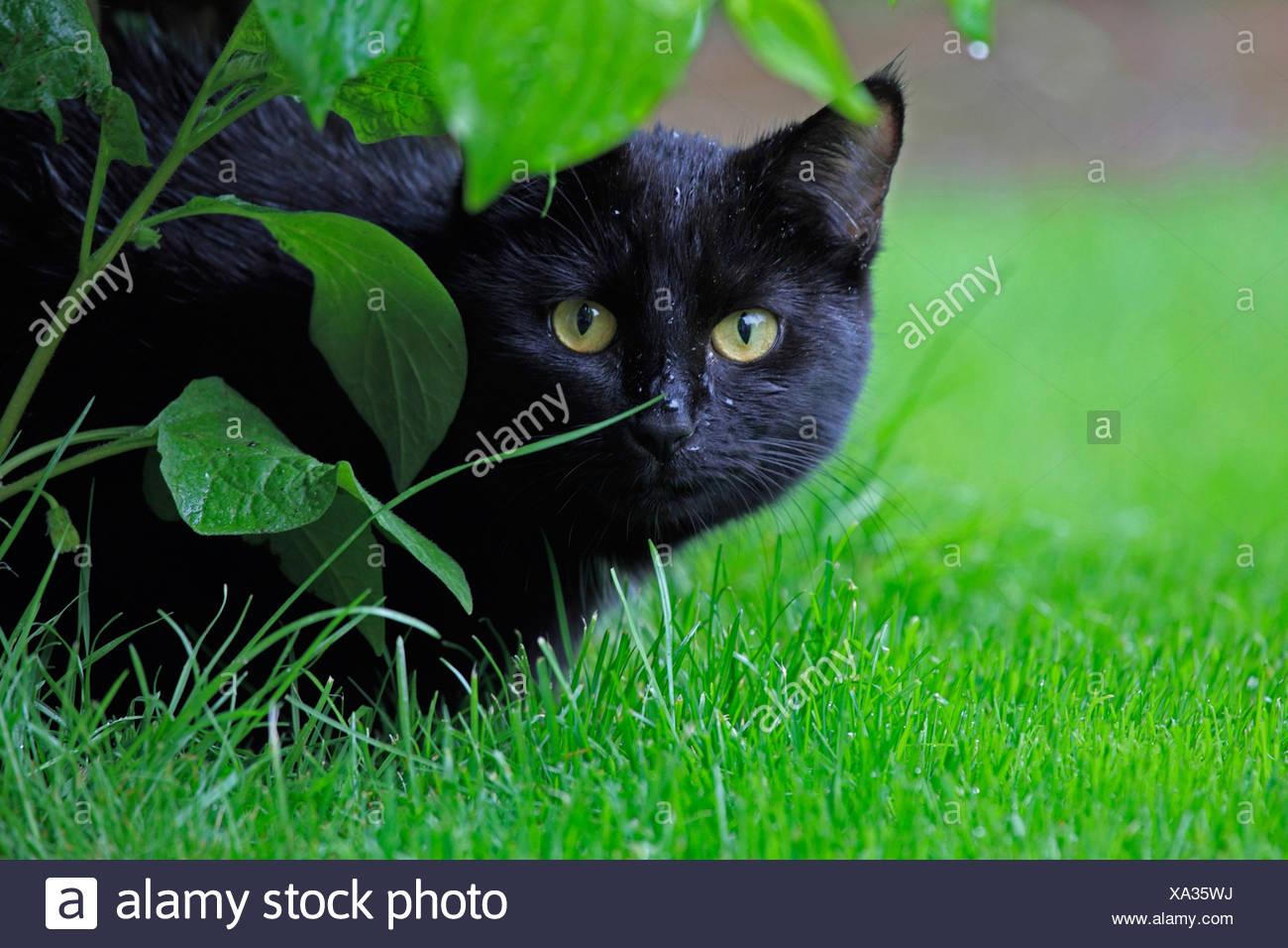 domestic cat, house cat (Felis silvestris f. catus), black cat in the garden, Germany - Stock Image