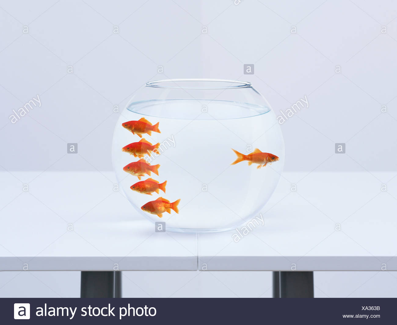 Goldfish separating from crowd in fishbowl - Stock Image