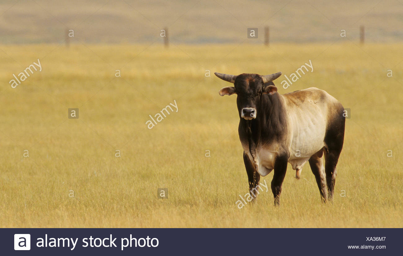 Rodeo Stock. Large bulls are specifically bred to preform when being ridden during Bull Riding events, Sasketchewan, Canada - Stock Image