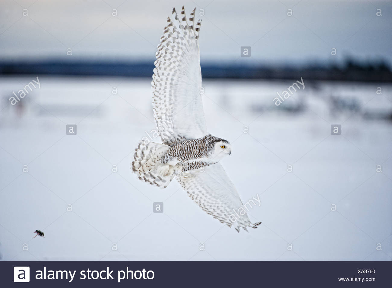 Female Snowy Owl in flight over snow, Saint-Barthelemy, Quebec, Canada, Winter - Stock Image