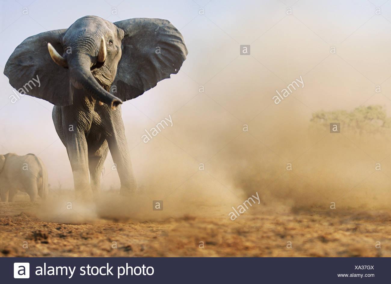 Charging bull elephant Savute Botswana - Stock Image