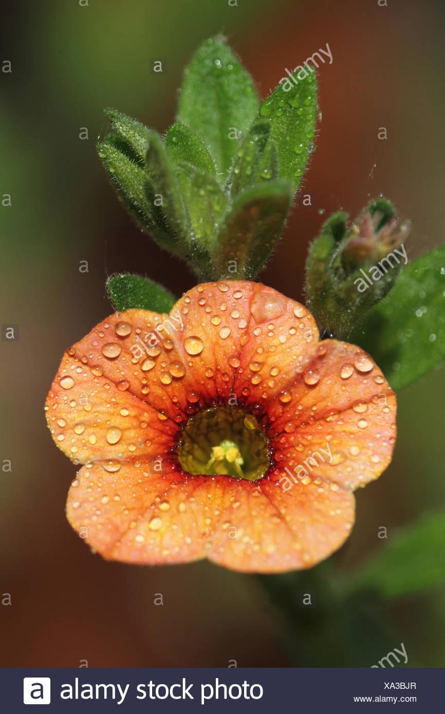 Mini slope petunia 'trio', Caliobrachoa hybrid - Stock Image
