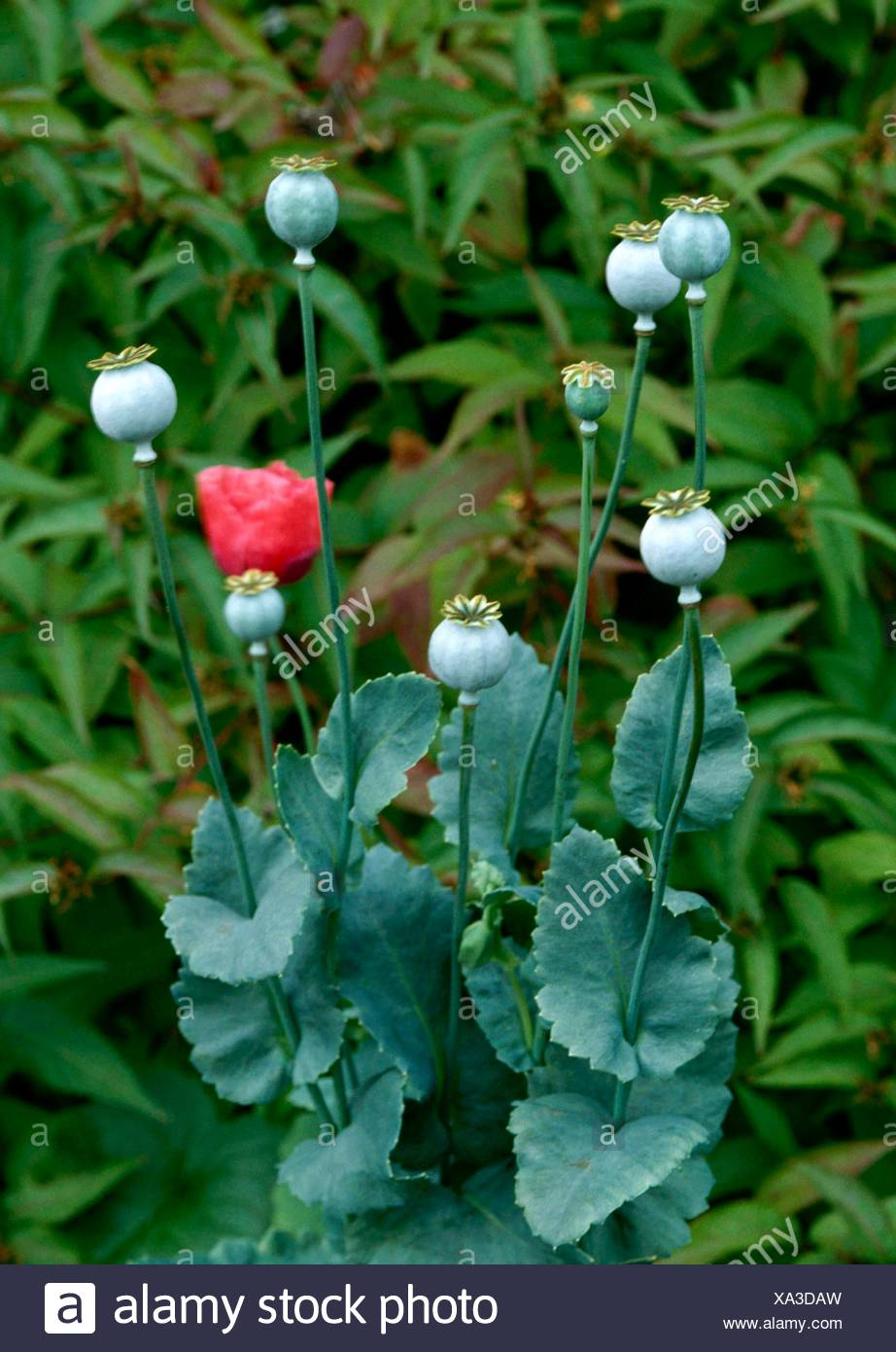 Dried Plants - Poppies (Papavar) seed heads suitable for drying   DRI036749 - Stock Image