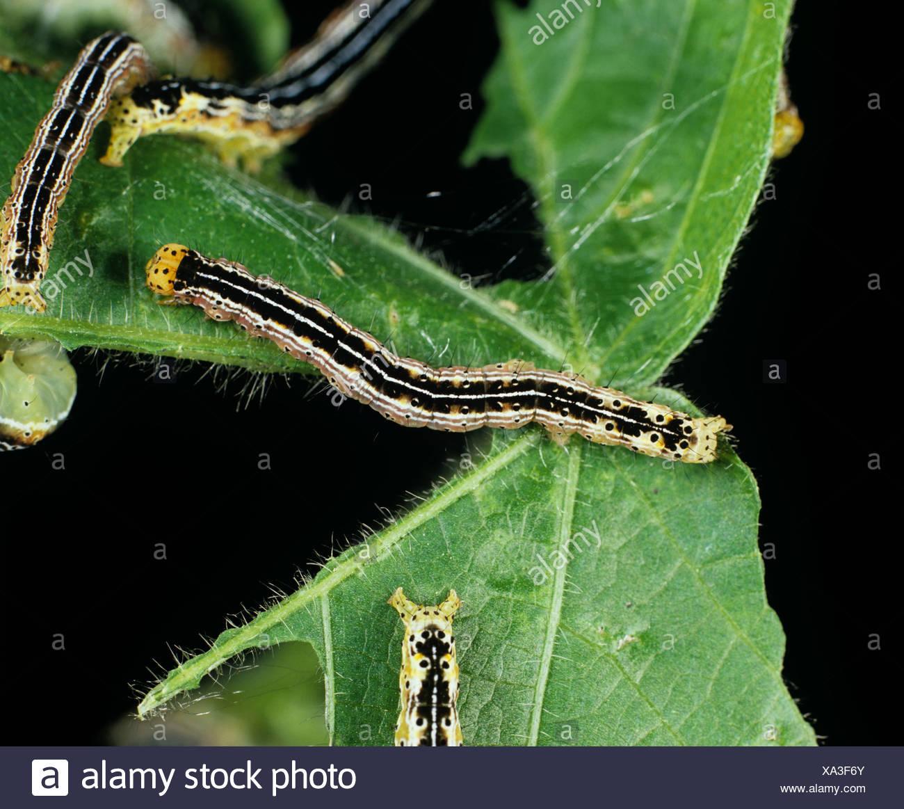 Cotton leafworm (Alabama argillacea) caterpillars on a damaged cotton leaf - Stock Image