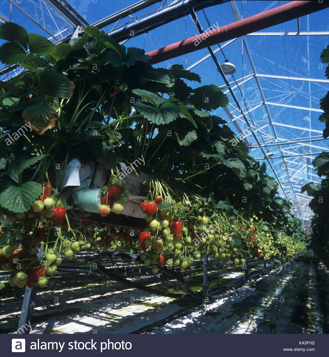 Strawberries variety Elsanta in suspended trays under glass with nutrient watering system - Stock Image