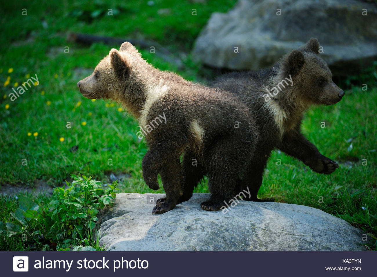 Two Brown Bears (Ursus arctos), cubs, 4 months, passing one another while taking a tour of discovery through their enclosure - Stock Image