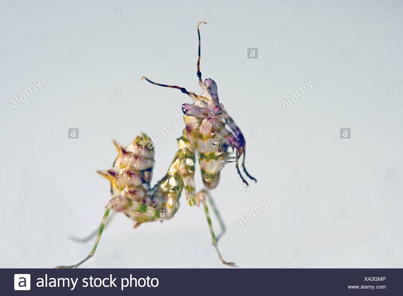 Preying Mantis - Stock Image