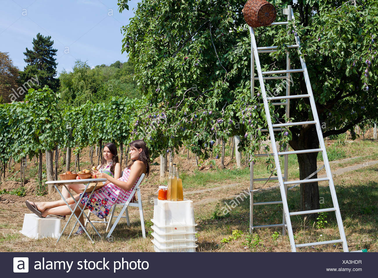 Women picnicking in orchard - Stock Image