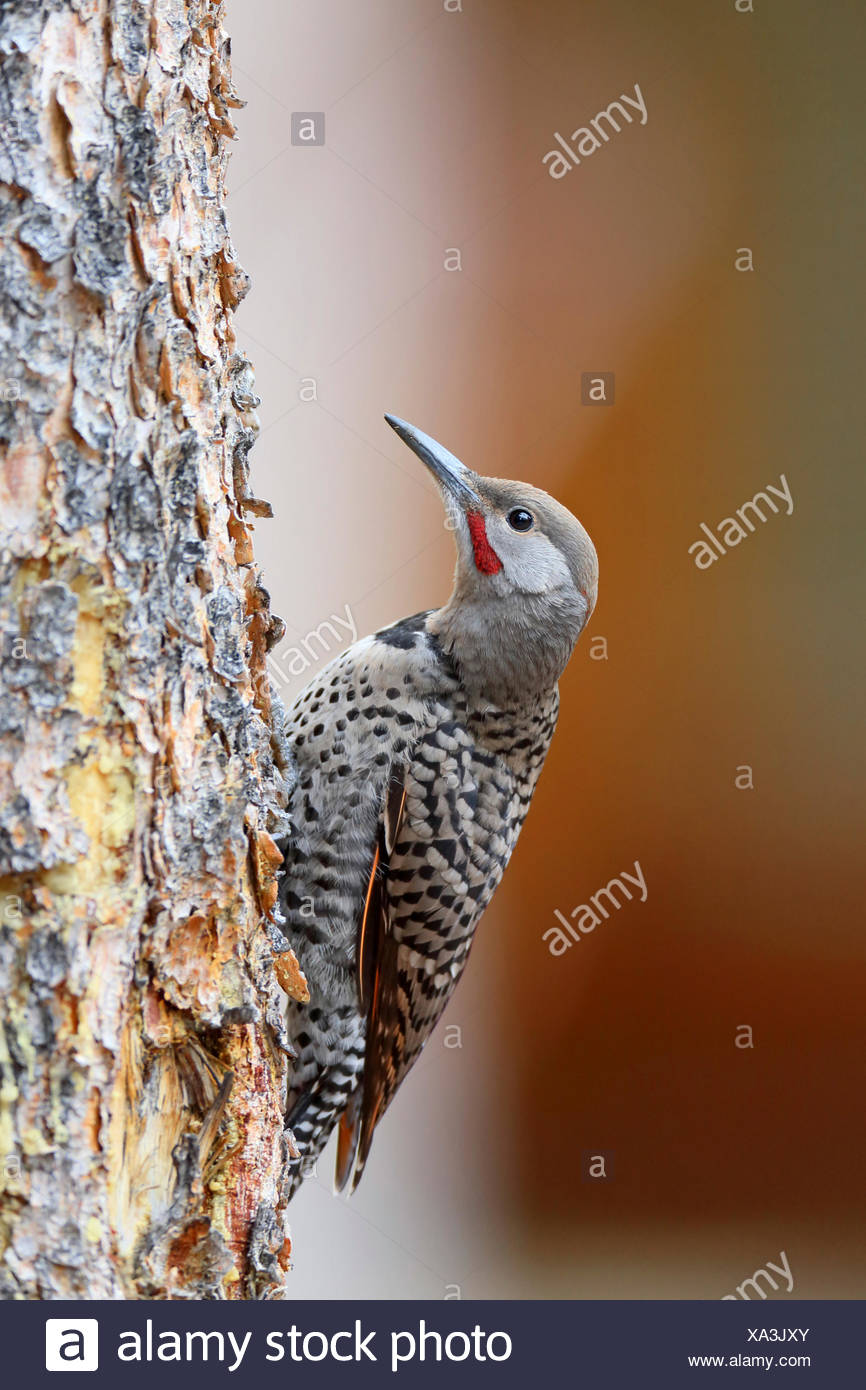Common flicker (Colaptes auratus), juvenile bird climbs at a tree, Canada, Alberta, Banff National Park - Stock Image