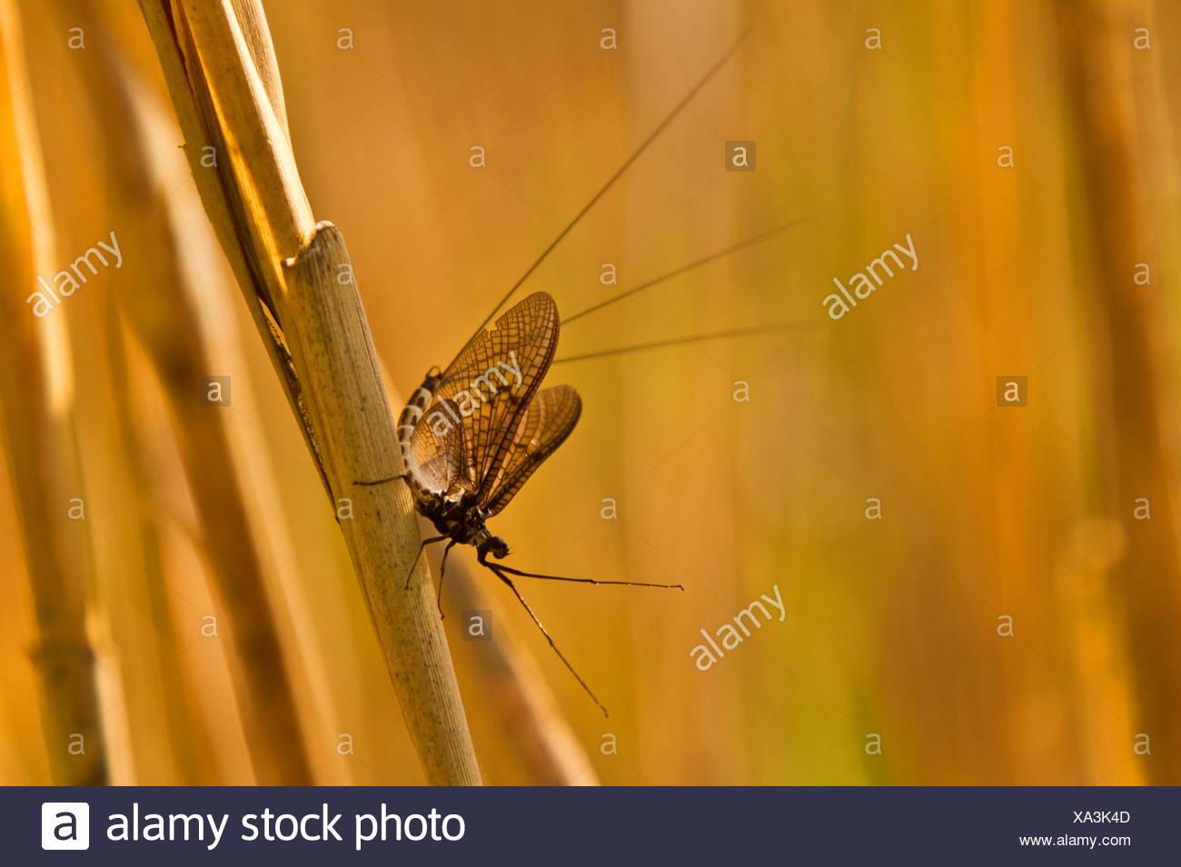 mayflies (Ephemeroptera), sitting at reed, Germany, Bavaria, Lake Chiemsee - Stock Image
