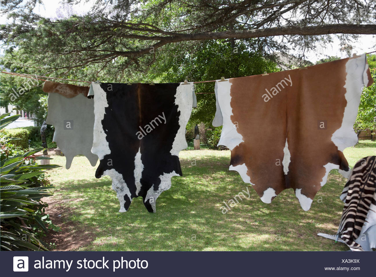 Animal skins hanging to dry, Franschhoek, South Africa - Stock Image