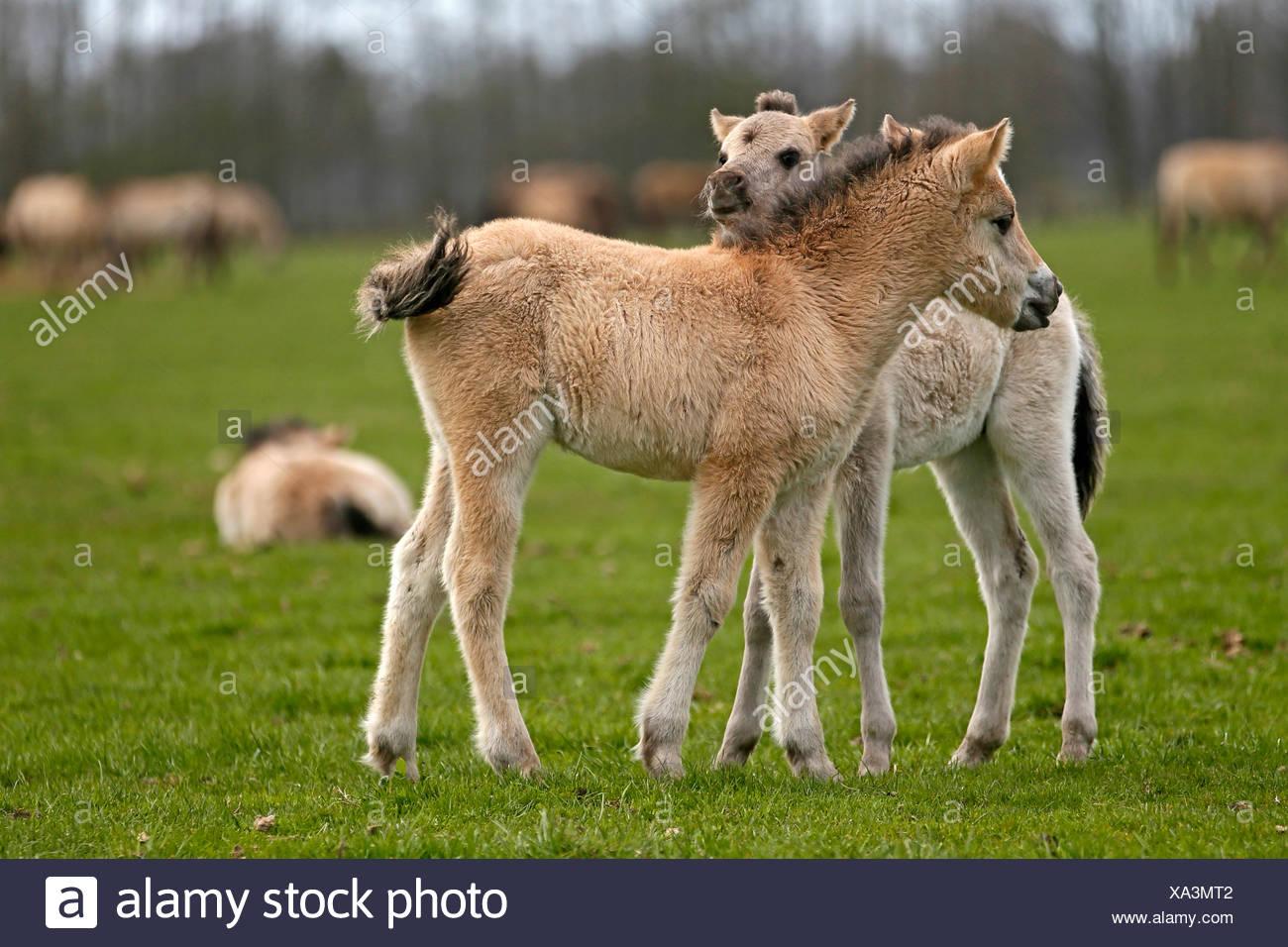 Wild horse Duelmen Duelmen, Nordrhein-Westfalen, Germany Stock Photo