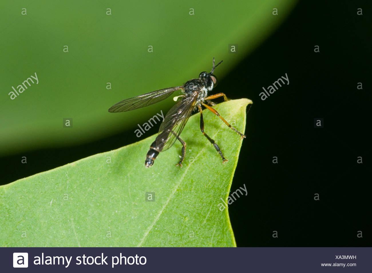 seitliche Nahaufnahme einer Raubfliege (Dioctria linearis) auf einer Blatt-Spitze sitzend vor unscharfen grünen Hintergrund - Stock Image
