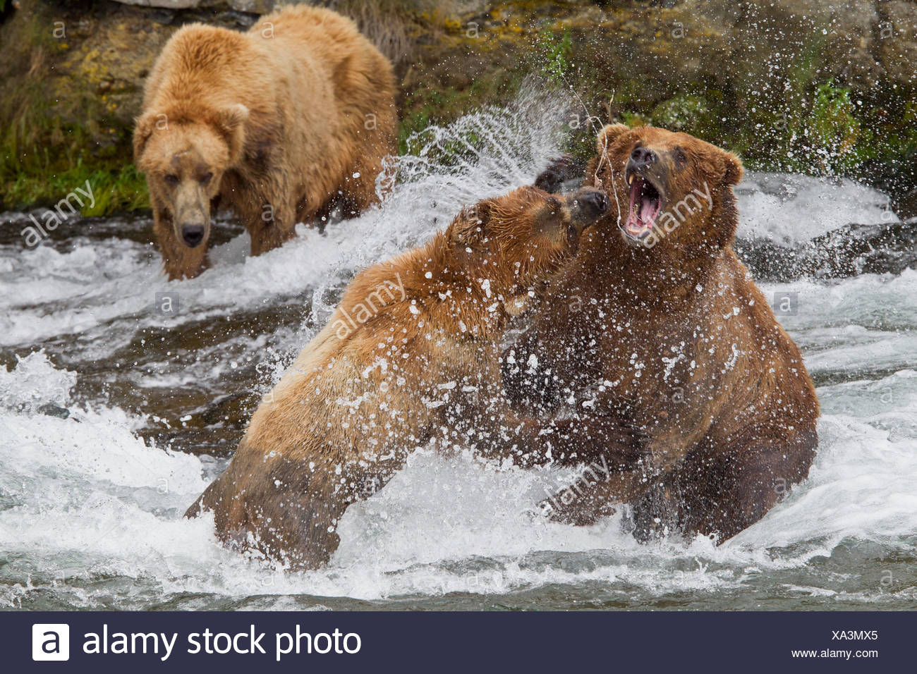 Two Brown Bear males fight while a third male watches, near Brooks Falls, Brooks Camp, Katmai National Park, Alaska - Stock Image