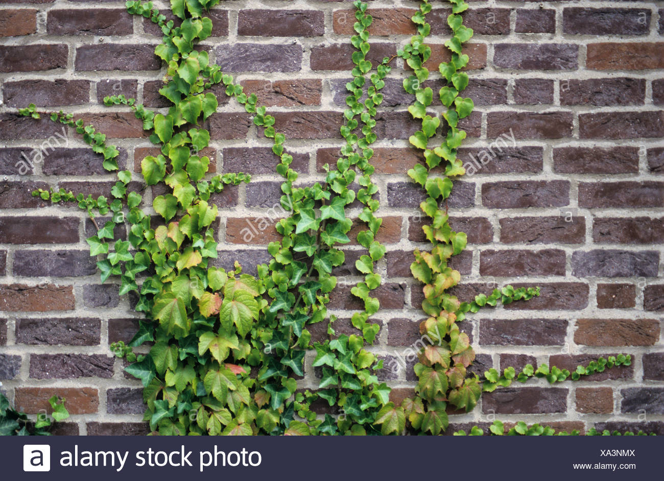Common Ivy (Hedera helix) and Japanese Ivy (Parthenocissus tricuspidata) growing on a brick wall Stock Photo