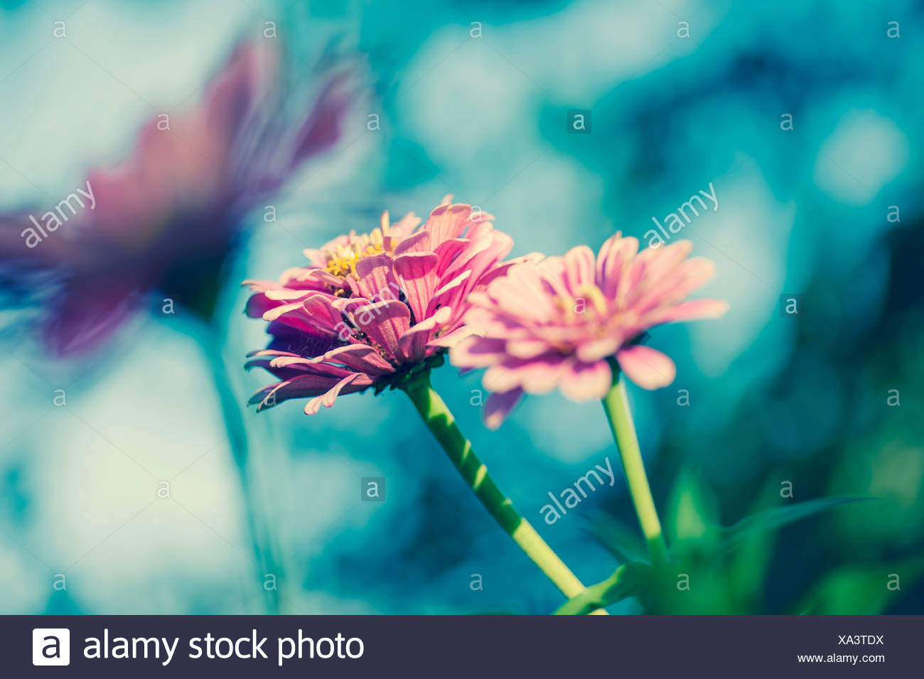 Three blossoms of common zinnia (Asteroideae) - Stock Image