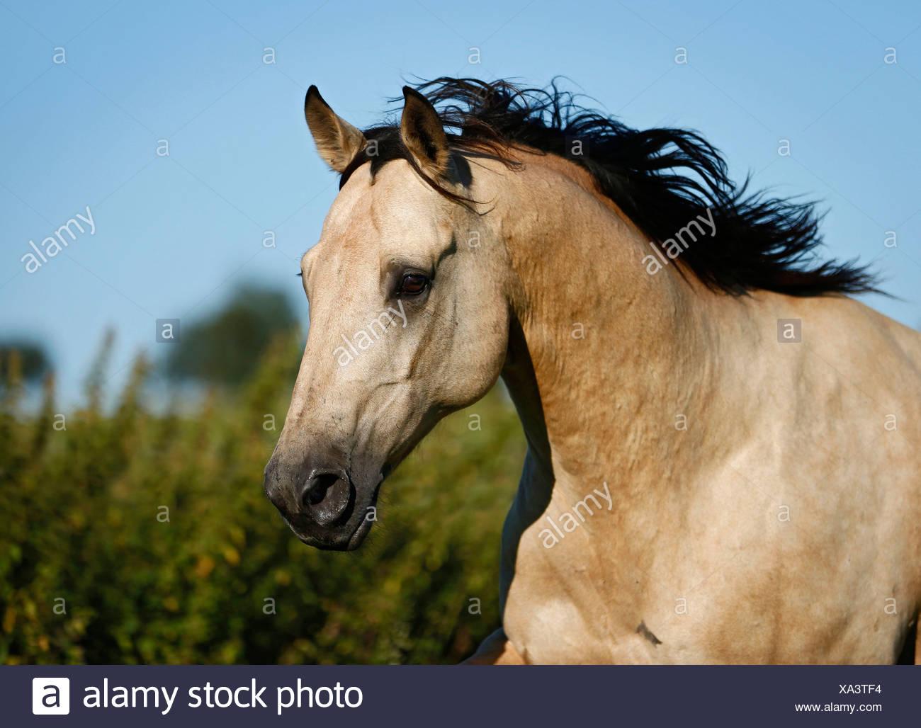 quarter horse buckskin gelding portrait in motion stock photo