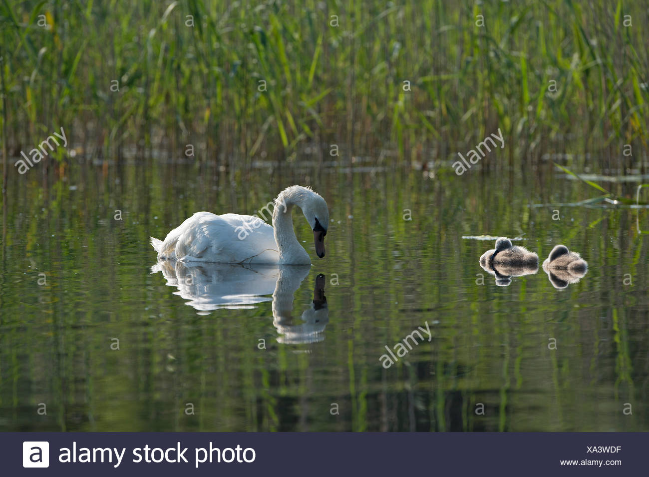 Mute Swan Cygnus olor adult with cygnets Cley Norfolk summer Stock Photo