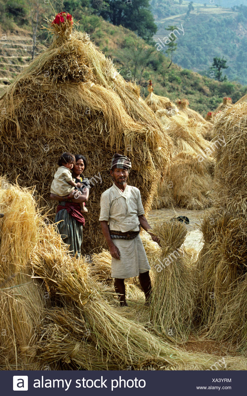bread wheat, cultivated wheat (Triticum aestivum), GURUNG FAMILY stands in front of piles of DRY HARVESTED WHEAT in the DORDI RIVER VALLEY - BODHA HIMAL, Nepal, Himalaya Stock Photo