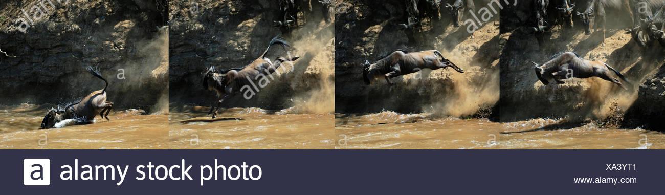 Image sequence, Blue Wildebeest (Connochaetes taurinus) jumps into the Mara River, Massai Mara, Kenya - Stock Image