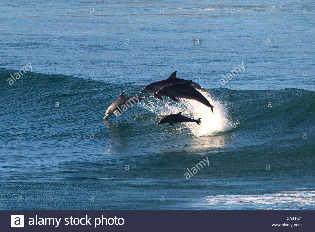 Dolphins leaping out of ocean - Stock Image