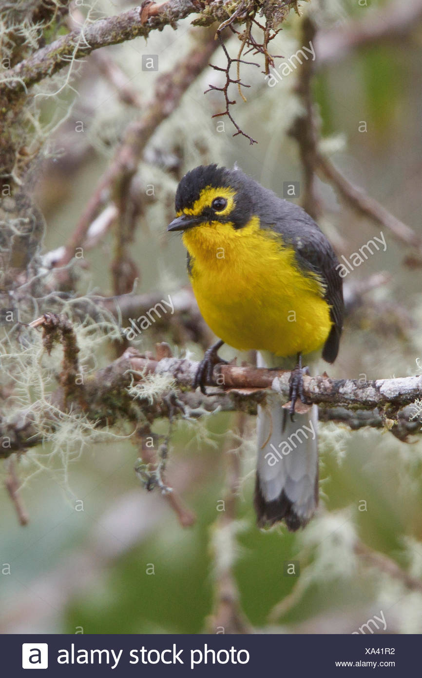Spectacled Redstart (Myioborus melanocephalus) perched on a branch in Bolivia, South America. - Stock Image