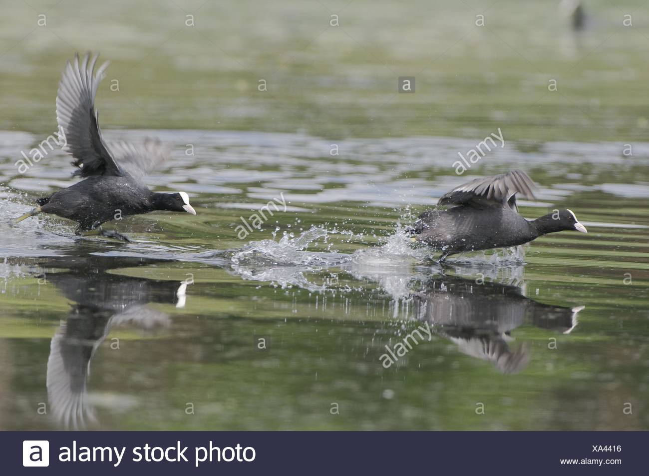 black coots Stock Photo