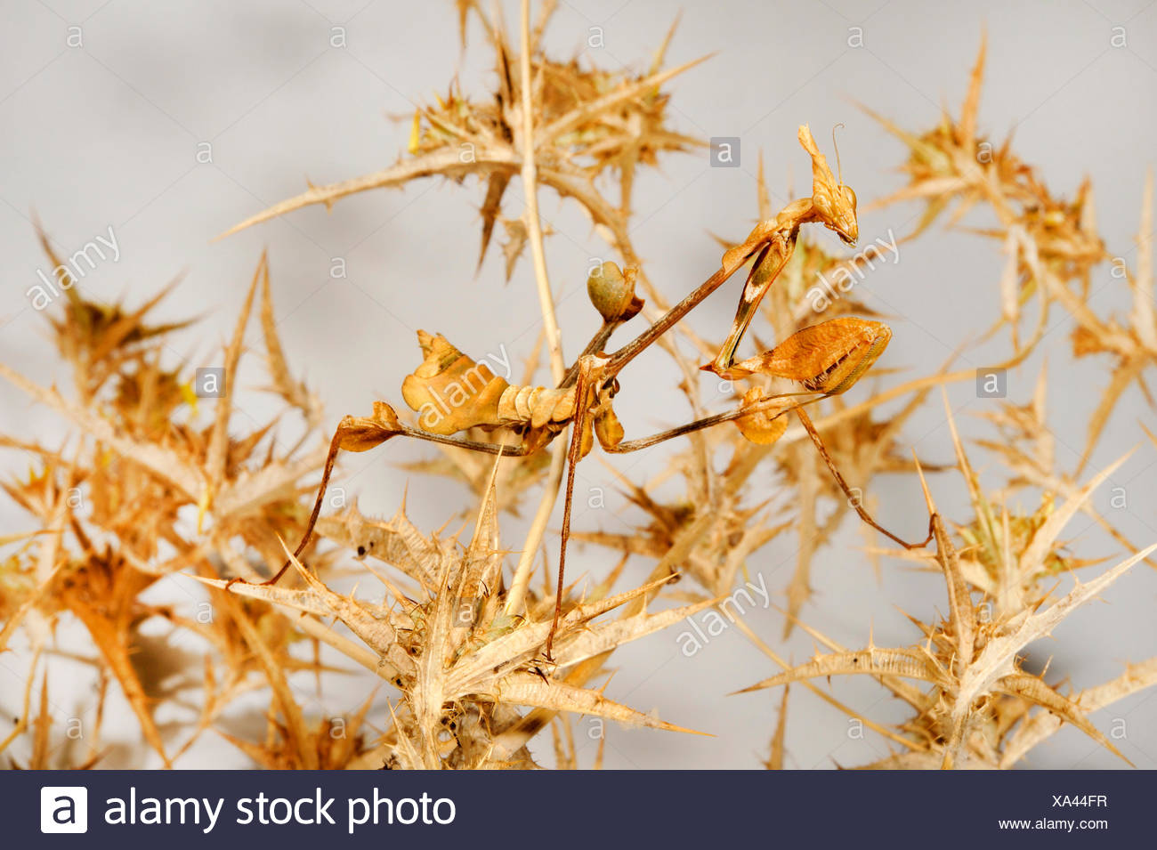 Wandering violin mantis, Indian rose mantis (Gongylus gongylodes), well camouflaged on withered plant - Stock Image