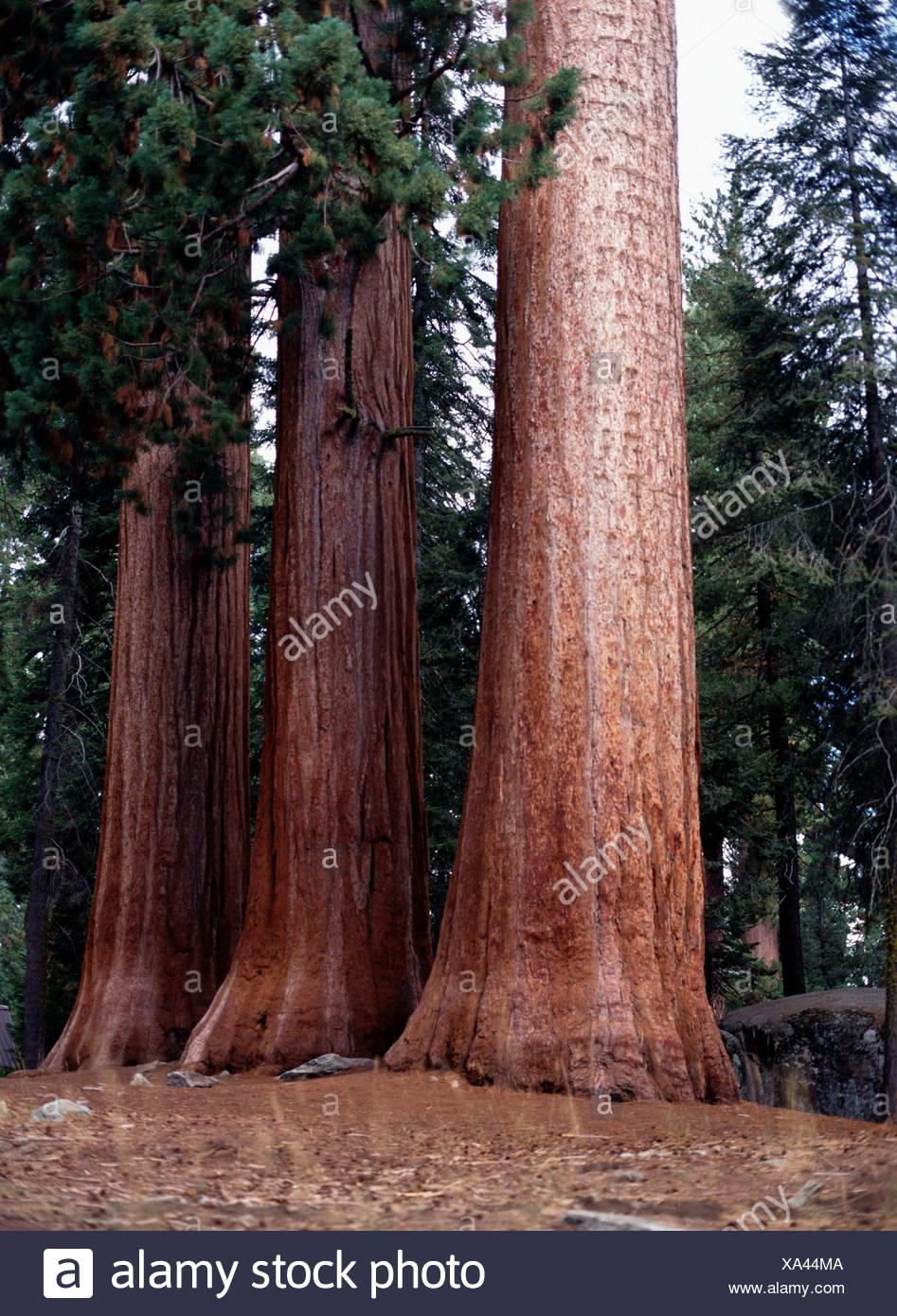 Coast Redwood / Kuesten-Mammutbaum - Stock Image