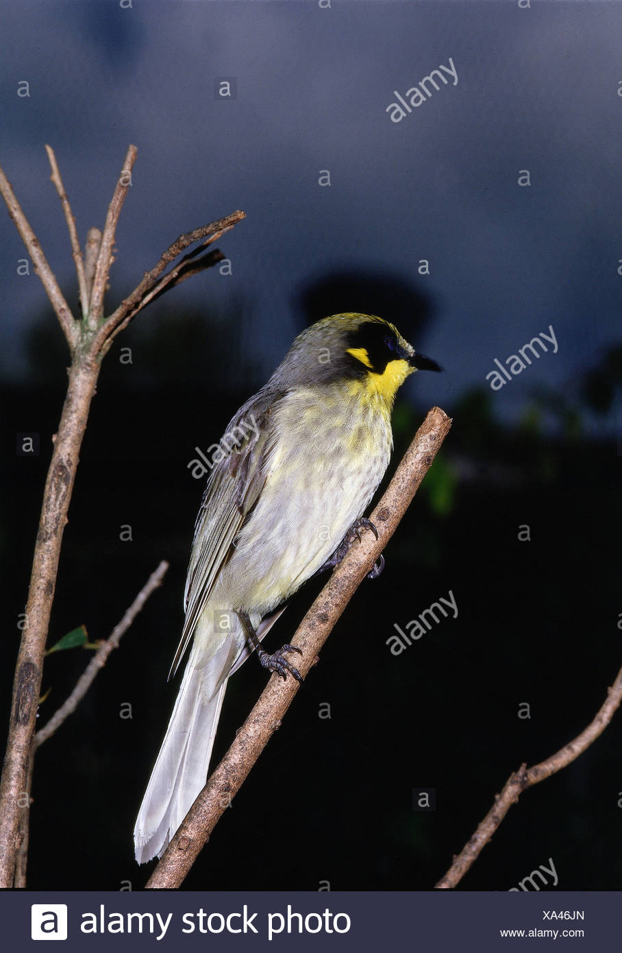 zoology / animals, avian / birds, Yellow-tufted Honeyeater, (Lichenostomus melanops), sitting on branch, distribution: Australia - Stock Image