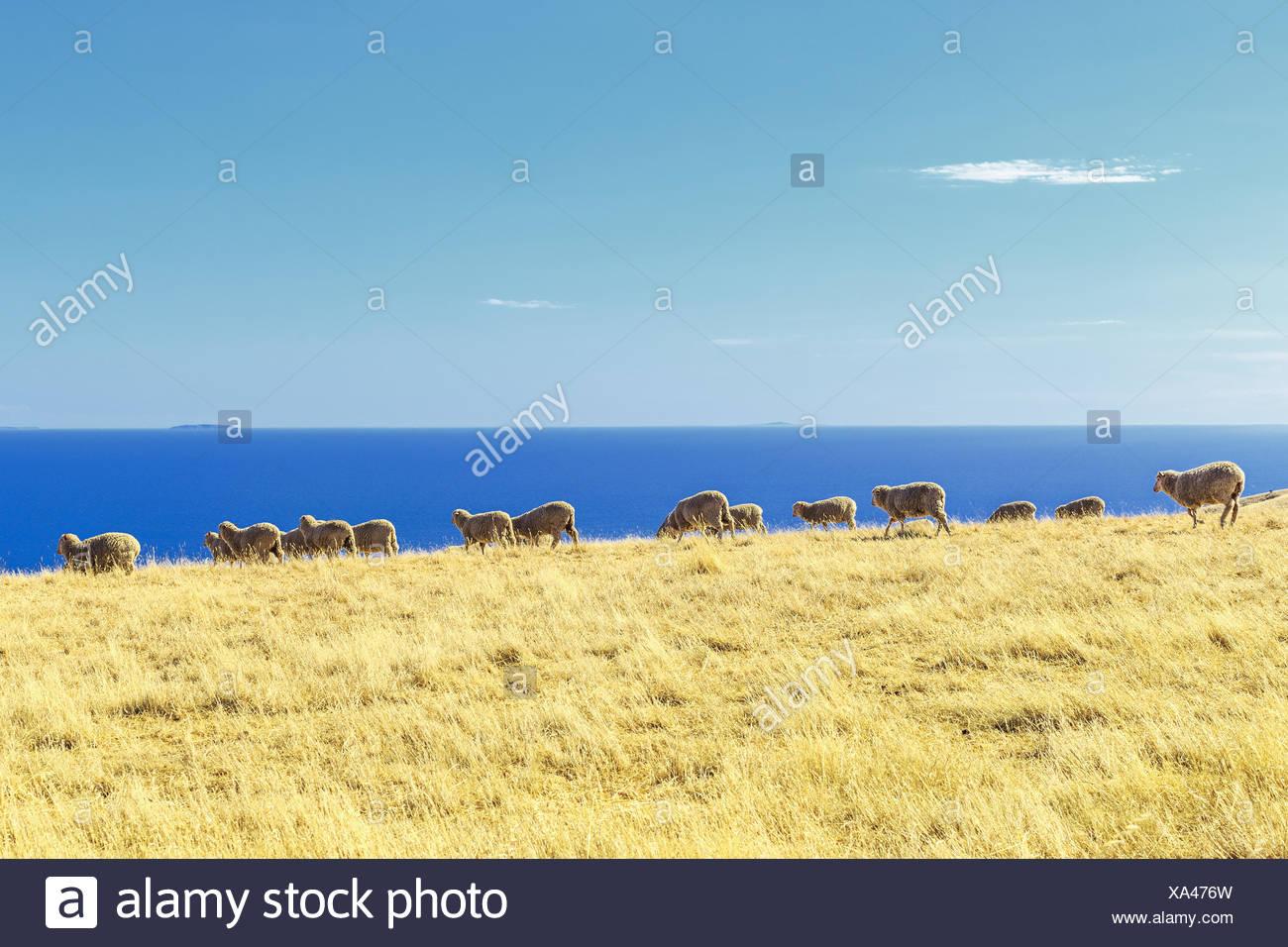 Sheep in a field, Kangaroo Island, Australia - Stock Image