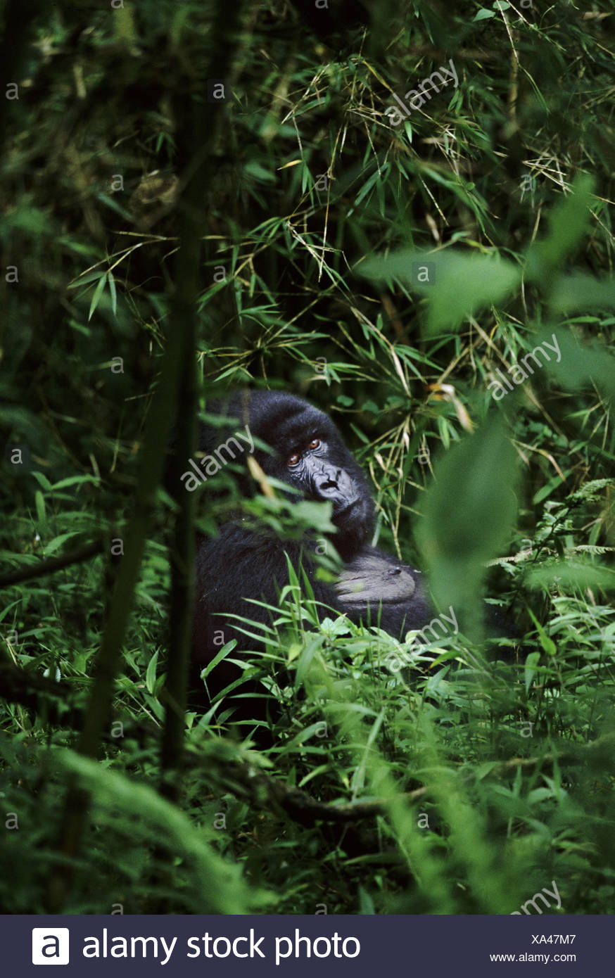 Mountain gorilla Parc des Virungas Democratic Republic of Congo - Stock Image